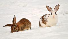 Lapins dans la neige