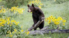 Fond d'écran hd : ours noir