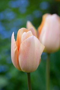 Kuvahaun tulos haulle tulipa apricot foxx