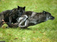 Lobos jugando en persecución. Amazing shot