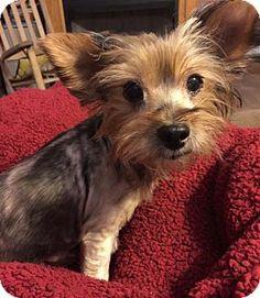 Yardley, PA - Yorkie, Yorkshire Terrier Mix. Meet Joy, a dog for adoption. http://www.adoptapet.com/pet/13368470-yardley-pennsylvania-yorkie-yorkshire-terrier-mix