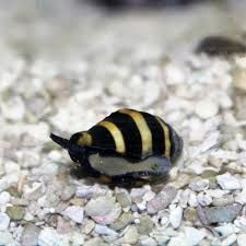 Image Result For Bumble Bee Snail