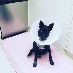 #coneofshame #pobrecita #Lola #rescuedog