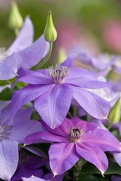Clematis 'Shimmer' by Clive Nichols