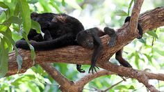 A howler monkey baby sits in a tree with his mother in #CostaRica