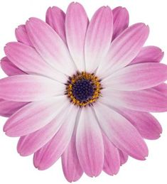 Tähtisilmä 'Felicia' Felicia, Plants, Air Fresh, Garden Planning, Plant, Planets