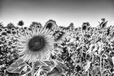 Sunflowers Field by Matteo Kutufa on 500px