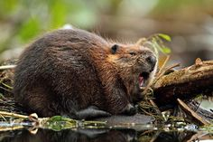 American Beaver | North American Beaver Facts and Information