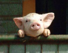 Pig :)