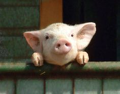 Tiny pig!!