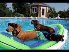 Sexy Ladies Wiener Dog Pool Party - Featuring Crusoe Celebrity Dachshund #SLWP GoPro - YouTube