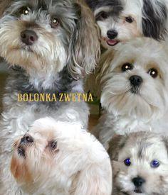Bolonka Zwetna - erstellt von Gerd Schremer mit Bazaart #Kollage