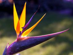 """This Strelitzia plant is known as """"bird of paradise flower"""". by Bienenwabe, via Flickr"""