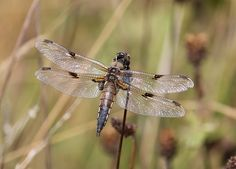 My Photo Gallery - Dragonfly My Photo Gallery, Photo Galleries, Insects, My Photos, Animals, Photos, Animaux, Animales, Animal