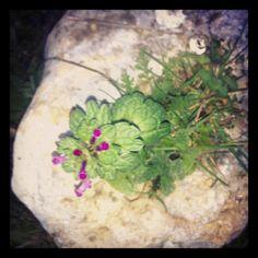 Flores crecen en el hueco de una piedra!
