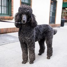 "Nicholas, Standard #poodle (5 y/o), 8th & University Place, New York, NY • ""He doesn't like dogs. He's not social. He's from Ohio and saw other dogs for the first time in NYC."""