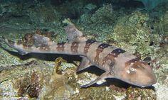 Whtespotted Bambooshark (Chiloscyllium plagiosum) L. 95 cm Indo-West Pacific H. rock and coral reefs. Cat Shark, Shark Jaws, Types Of Sharks, Species Of Sharks, Small Shark, Saltwater Tank, Marine Aquarium, Beautiful Fish, Ocean Life