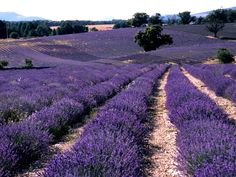 Must-See Spots on the French Riviera:  GRASSE, FRANCE is a picturesque medieval village that also holds the distinction of being the world's perfume capital. While famous perfumeries like Fragonard offer free tours of their factories, the real reason to come here is to take in the never-ending fields of lavender landscape. Grasse is conveniently located between Cannes and Nice, so a quick stop here is worth your while, if only to pick up a few bottles of perfume and stop to smell the…