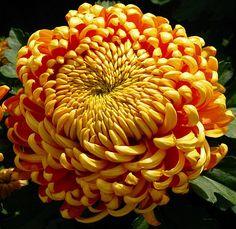 Хризантема (Сrysanthemum)