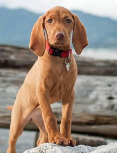 Whiskey the Vizsla, one of my Favorite Breed of Dogs!! Isn't he just soooo Handsome!!!???