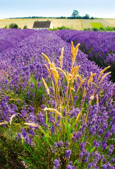 Lavender field - England