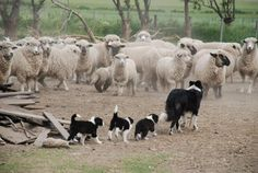 "Mum Border Collie With Her Three Puppies: Lesson Number One: ""How to be A First Class Herd Dog For Sheep!"""