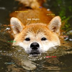 Shiba Inu Swimming – What a face! You probably have to get wet to get a closeup picture like that. Japanese Shiba Inu dogs are bred for hunt. Funny Doge, Doge Meme, Shiba Inu, Animal Memes, Funny Animals, Cute Animals, Animals Dog, Mundo Animal, Siberian Huskies