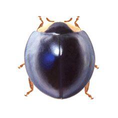 Curinus coeruelus