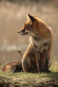 Red Fox ~
