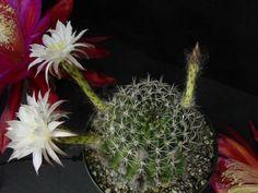 Echinopsis mamillosa - See more at: http://worldofsucculents.com/echinopsis-mamillosa