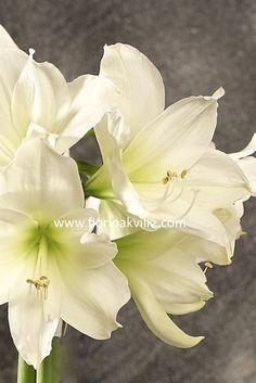 Amaryllis (20 Blooms) - White
