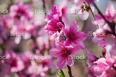 Brunch of peach flowers royalty-free stock photo