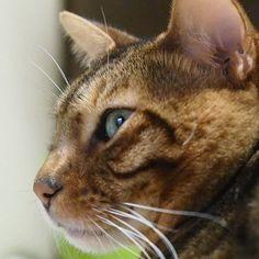 #横顔 #猫 #ねこ #ねこ部 #ねこすたぐらむ #ネコ #にゃんこ  #にゃんすたぐらむ #ニャンコ #愛猫 #ベンガル #オリンパスペン #cat #catsofinstagram #neko #nekostagram #bengal #lovecat #instacat #olympuspenepl7