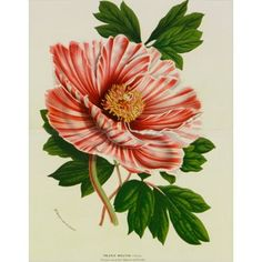 Check out this item at One Kings Lane! Peppermint Pink Striped Peony, C. 1860
