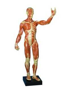 Muscular figure, ? life size
