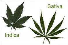 What's in a name: Sativa vs Indica. Rooted in Enlightenment Era racist thinking, the different names given to cannabis by Linnaeus are equitable to how the elite once thought blacks and white humans were different species too.