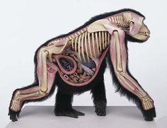 Pregnant gorilla anatomy cross section