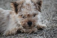Meet Fuzzy Wuzzy, a Petfinder adoptable Lhasa Apso Dog | Wynne, AR | Fuzzy Wuzzy, so little and tiny, was found walking along the road like he owned it!  He was wearing...