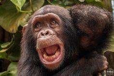 Beautiful baby chimpansee, Madame