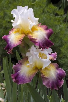 Bearded Iris 'Starship Enterprise'
