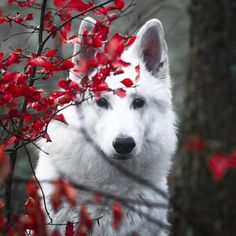 Discovered by ℓυηα мι αηgєℓ ♡. Find images and videos about photography, white and animals on We Heart It - the app to get lost in what you love. Wolf Images, Wolf Photos, Wolf Pictures, Animal Pictures, Beautiful Wolves, Beautiful Dogs, Animals Beautiful, Wild Animals Photography, Wolf Photography