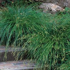 Carex divulsa (Berkeley sedge) - can grow in full sun to full shade; beds, boarders, and ground covers; Mass this under Japanese maples for a super simple modern look on either side of drive. Shade Garden, Garden Plants, Backyard Plants, House Plants, Fine Gardening, Gardening Hacks, Plant Guide, Landscaping Plants, Landscaping Ideas