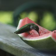 Here's what to do with those watermelon scraps! Hummingbirds and butterflies enjoy watermelon.