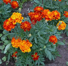 French marigold - Flowering annual