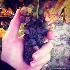 Holding a noble rot Botrytis grape which are the base for the delicious #sweet #wines of the Hillside around Rust in #Burgenland.