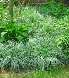 Carex flacca 'Blue Zinger' (Glaucous sedge)Height  Height: 8-16 Inches Spread 12-24 Inches Spacing 12 Inches USDA Hardiness Zone 5-8 Blue Sedge spreads to form a mat of bluish-green foliage. The plant can be used as a ground cover or in rock gardens. Best growth occurs in the sun but the plant will grow in shade.