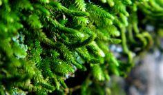 A macro photograph of tree moss.