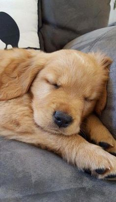 Golden Puppy This is the Golden Retriever puppy named Ember according to the original pin. Cavalier King Charles Blenheim, Cute Puppies, Dogs And Puppies, Doggies, Dogs Golden Retriever, Retriever Puppy, Golden Retrievers, Baby Animals, Cute Animals