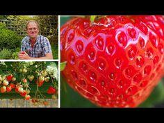Growing Strawberries: How to Grow the Best Tasting Strawberries - YouTube Growing Vegetables, Growing Plants, Landscaping Plants, Garden Plants, Fruit Trees, Trees To Plant, Strawberry Plant Care, Strawberry Varieties, Old Farmers Almanac