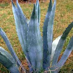 "HARDY!  AGAVE AMERICANA CACTUS SUPER BLUE SUCCULENT 8-10"" PLANT #Cactus"